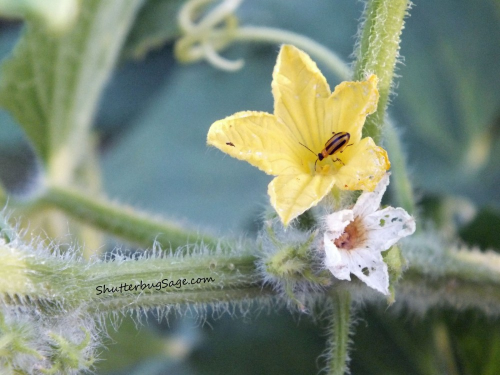 Bug on Cucumber Flower