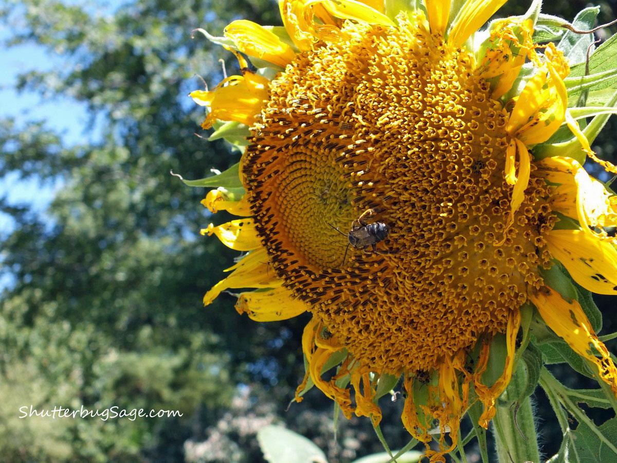 Sunflower in the Monet Garden at the OP Arboretum | ShutterbugSage.com