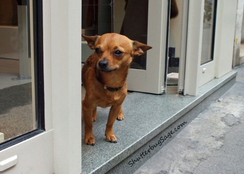 A ferocious watch dog stands guard at a boutique in Paris.