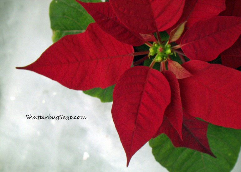 Poinsettia_edited-1