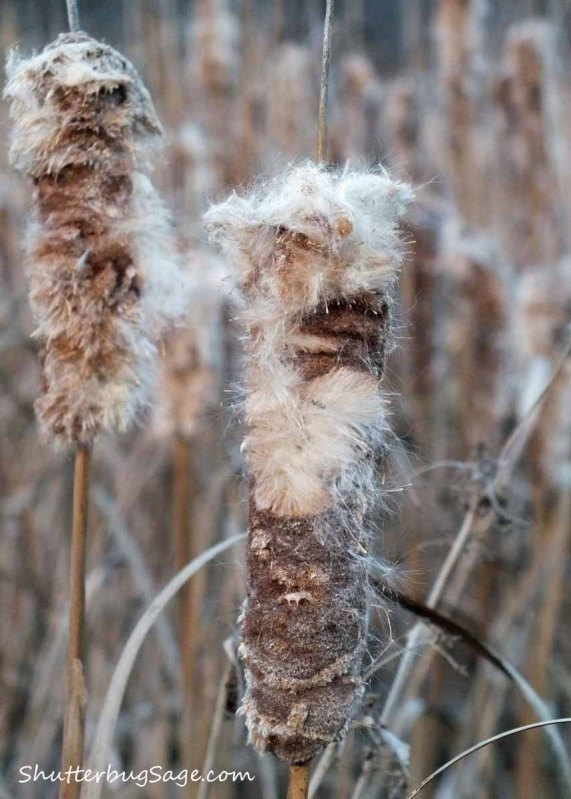 Cattails 1_edited-1