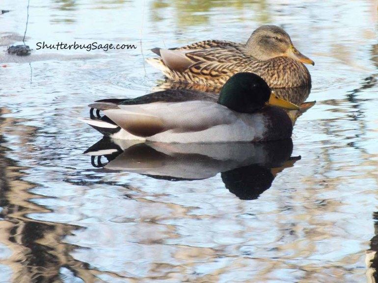 Duck 1 FINAL