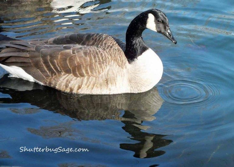 Goose 1_edited-1