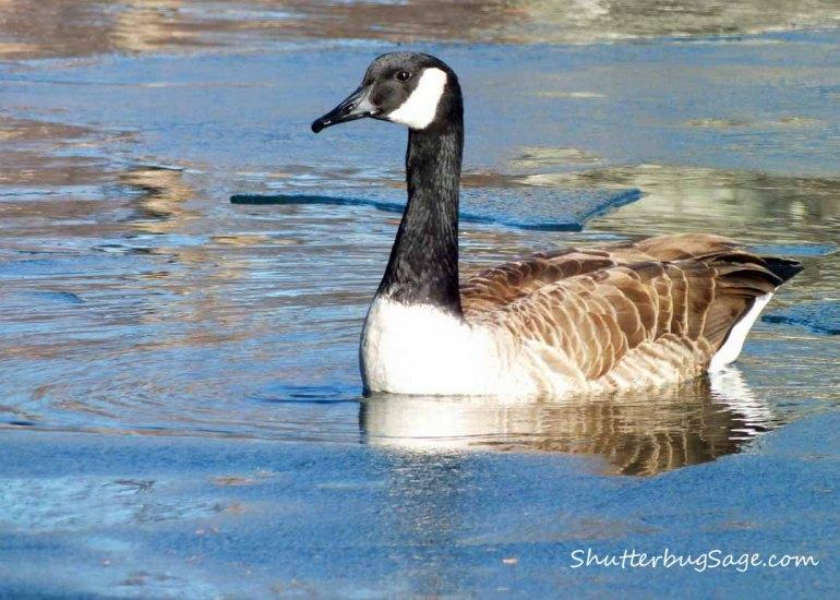 Goose 2_edited-1