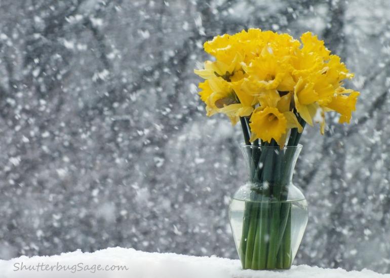 Daffodil 1_edited-1