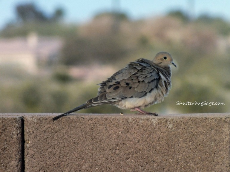 Mourning Dove_edited-1