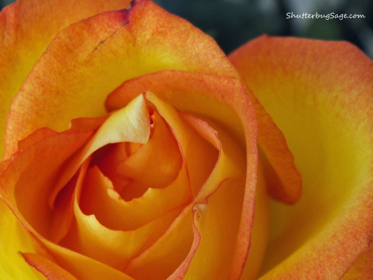 Orange Rose_edited-1