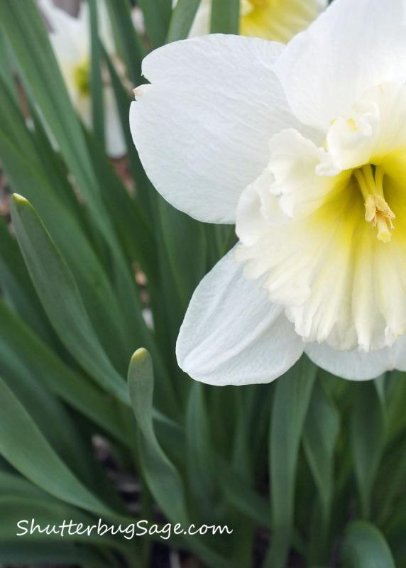 Daffodil_edited-1