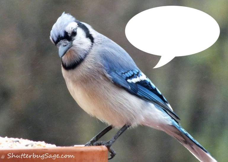 Blue Jay Thought Bubble_edited-1