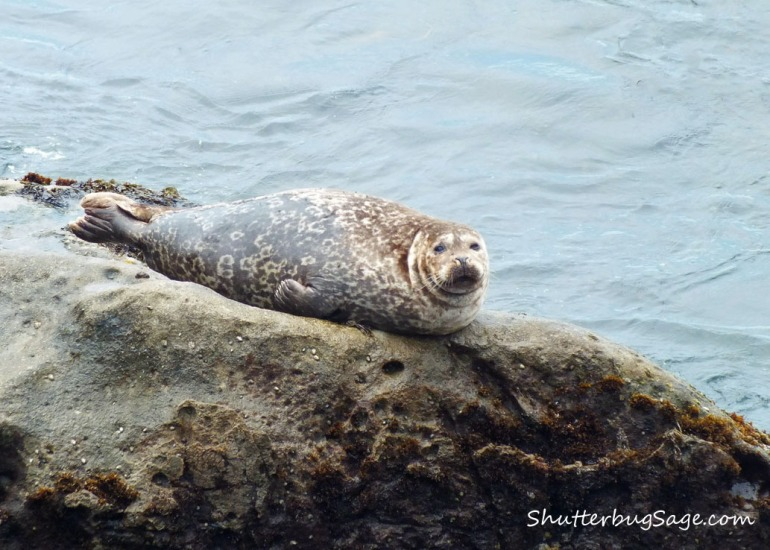 Harbor Seal 4_edited-1