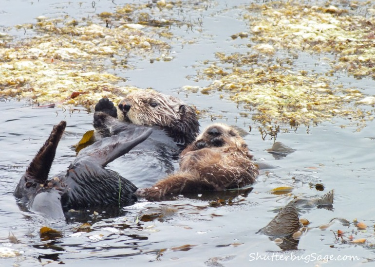 Sea Otter 2_edited-1
