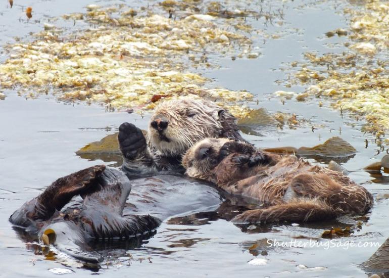 Sea Otter 3_edited-1