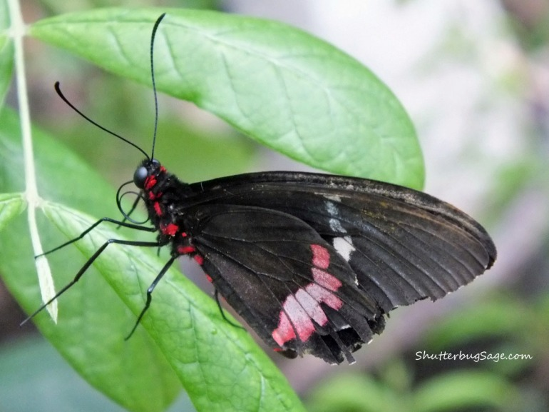 Butterfly - Pink_edited-1