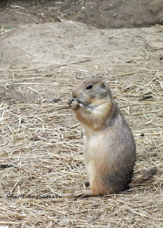 Prairie Dog_edited-1