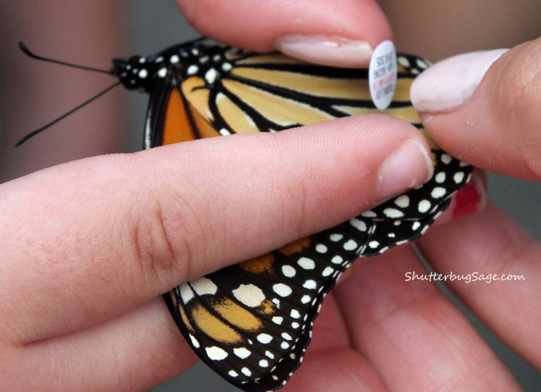 Tagging Monarchs 3_edited-1
