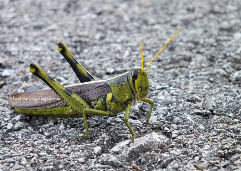 Grasshopper_edited-1