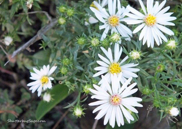 Hairy Aster_edited-1