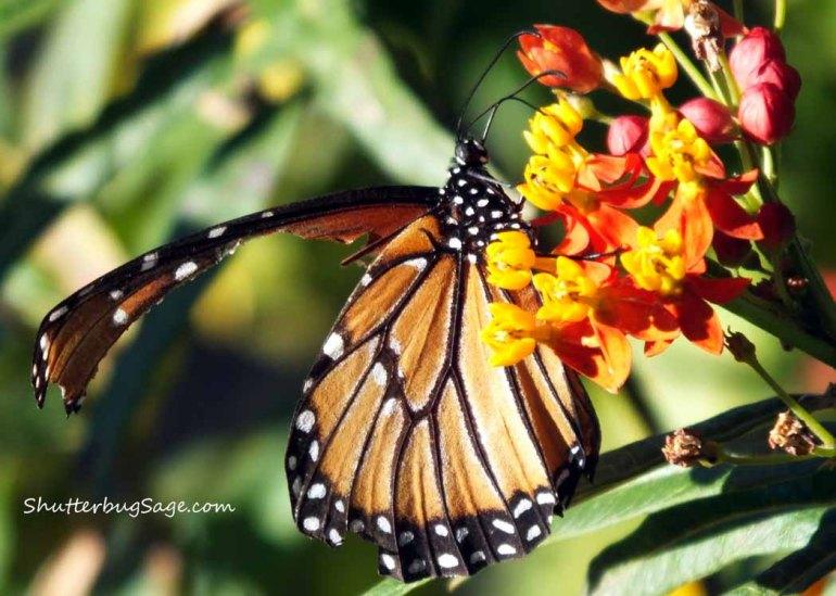 Monarch_edited-1