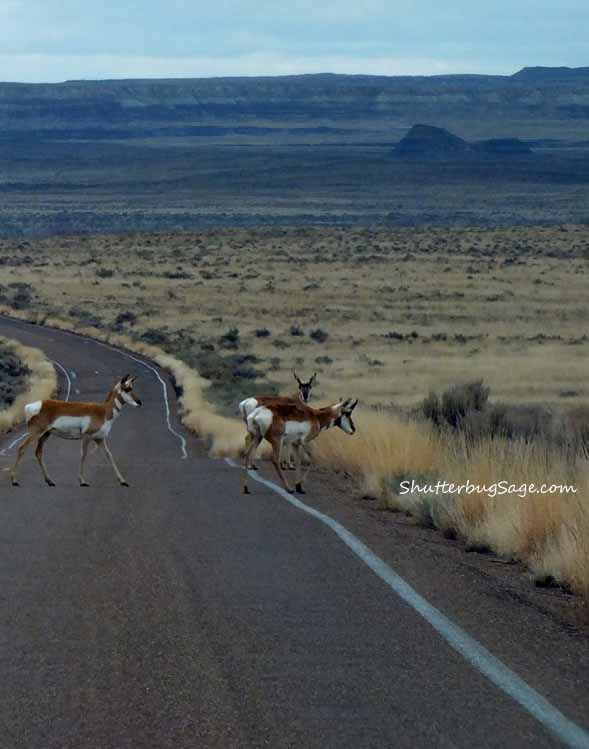 Pronghorn 2_edited-1
