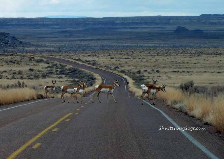 Pronghorn_edited-1