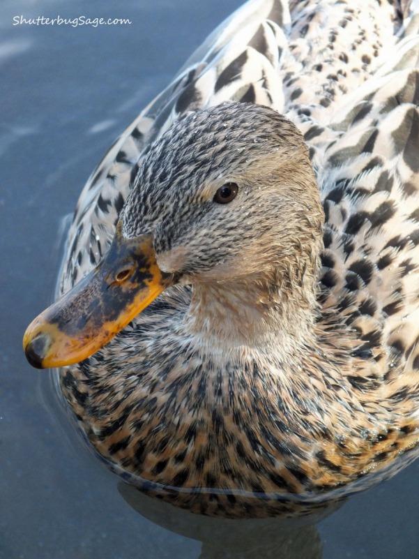 Duck 1_edited-1