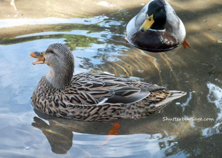 Duck 2_edited-1