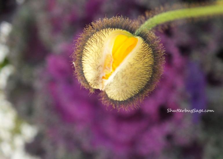 Poppy 2_edited-1