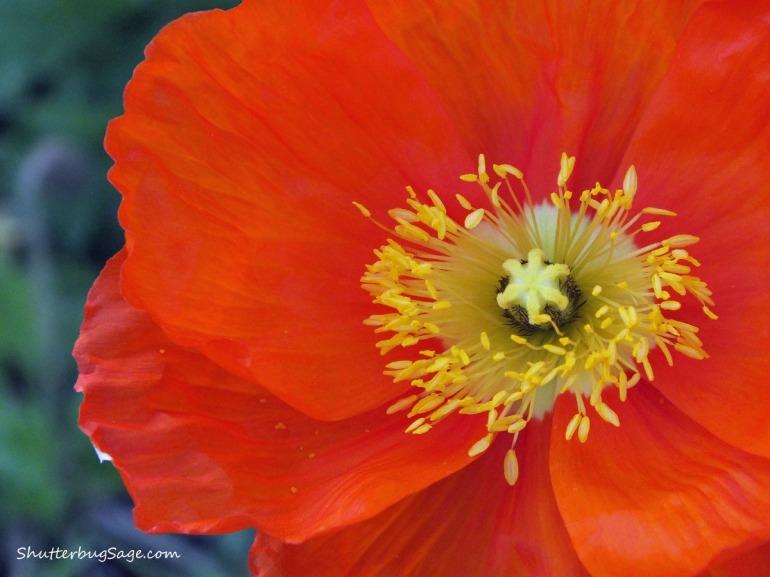 Poppy 3_edited-1