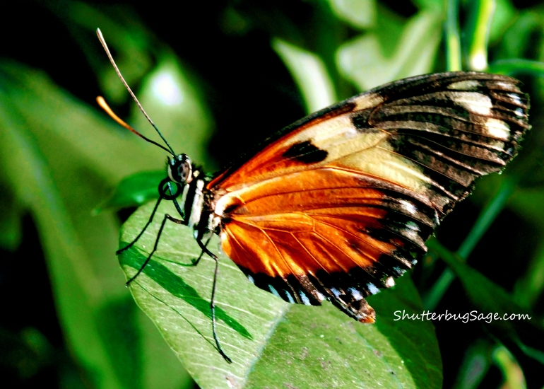 Another Spotted Tiger Glassywing_edited-1