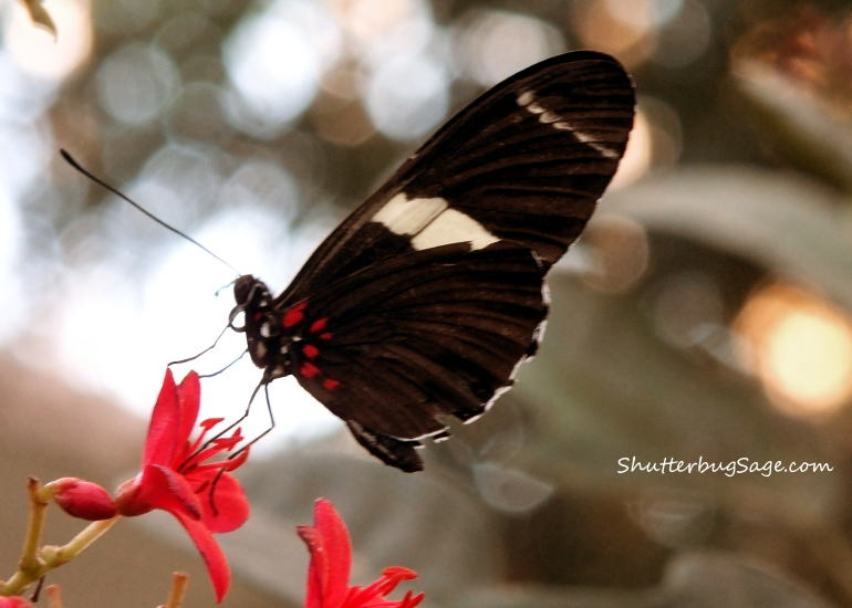Arched Wing Cattleheart_edited-1