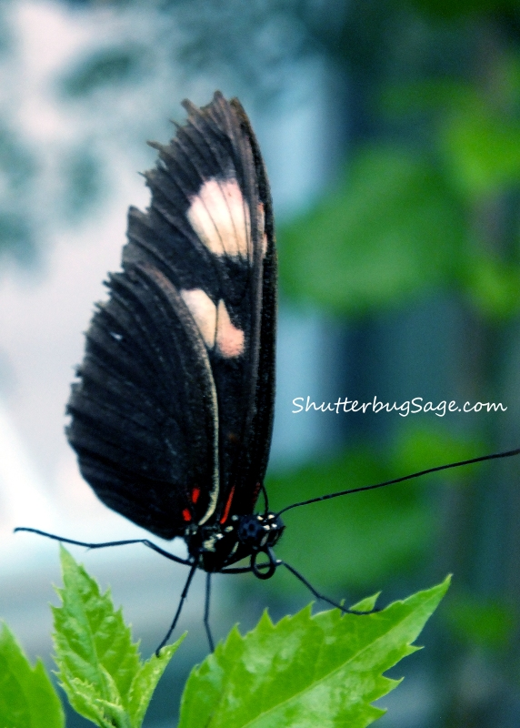 Black Butterfly on a Leaf_edited-1