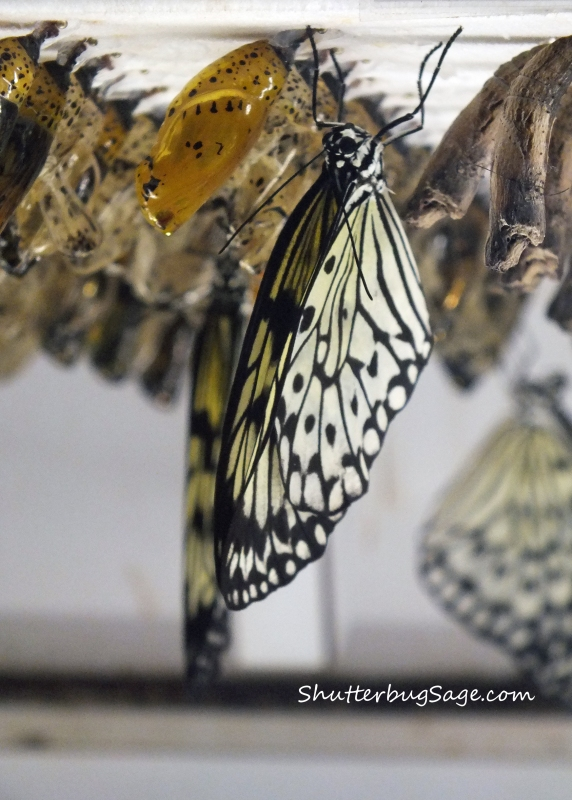 Butterfly Hatching_edited-1