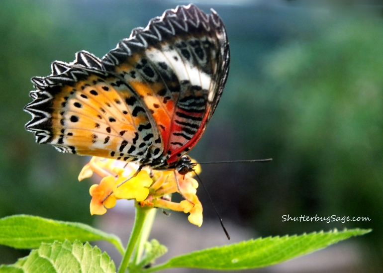 Lacewing on a Yellow Flower_edited-1