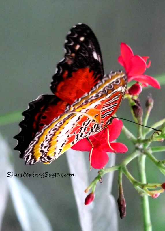 Lacewing_edited-1