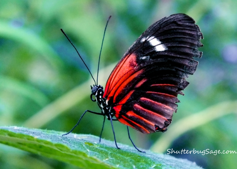 Spotted Tiger Glassywing_edited-1