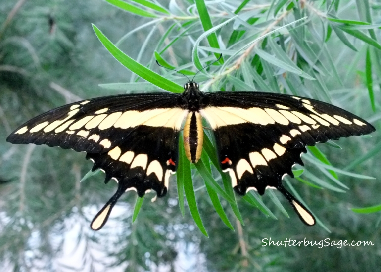Swallowtail Wings Spread_edited-1