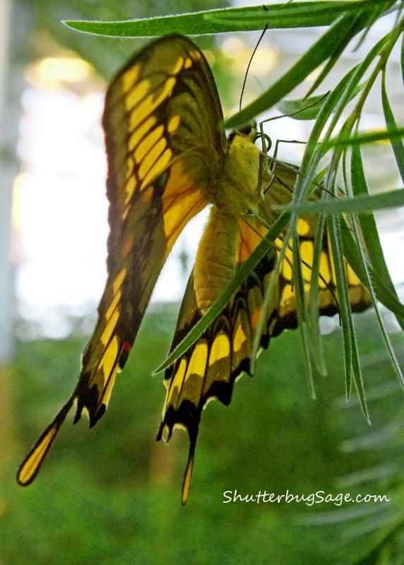 Swallowtail_edited-1