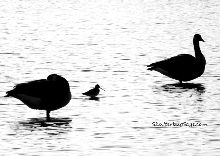 Water Fowl Silhouettes_edited-1