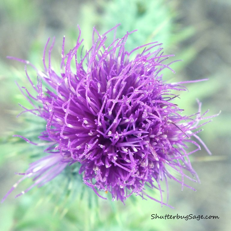Cobweb Thistle 2_edited-1