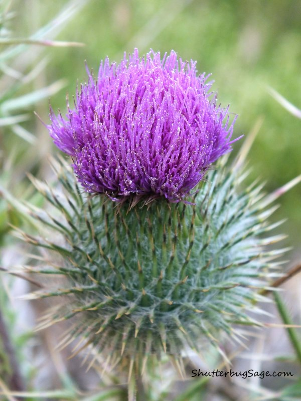 Cobweb Thistle_edited-1