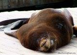 Sea Lion Sleeping at Pier39