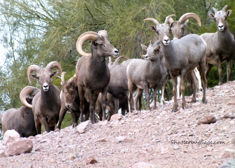 Big Horn Sheep_edited-1