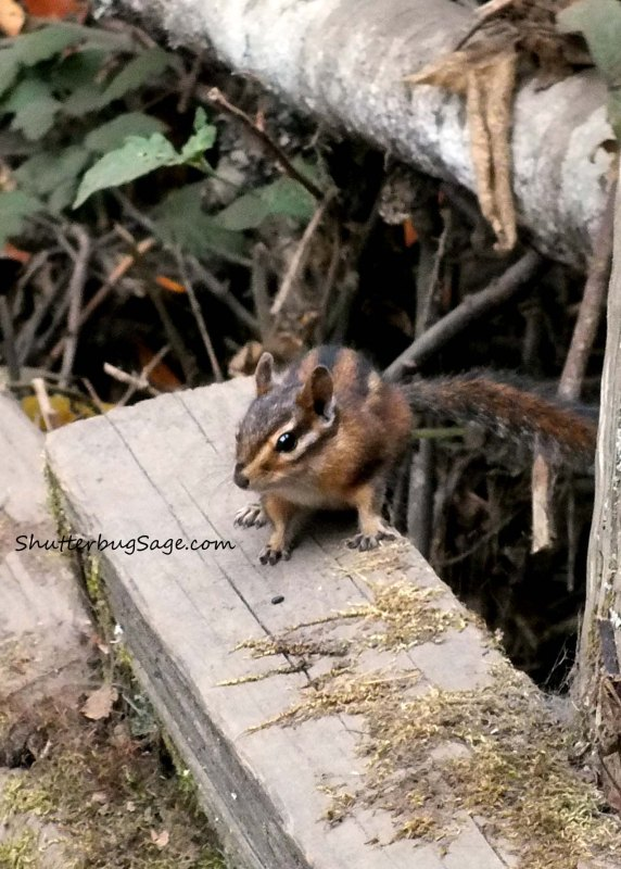Chipmunk_edited-1