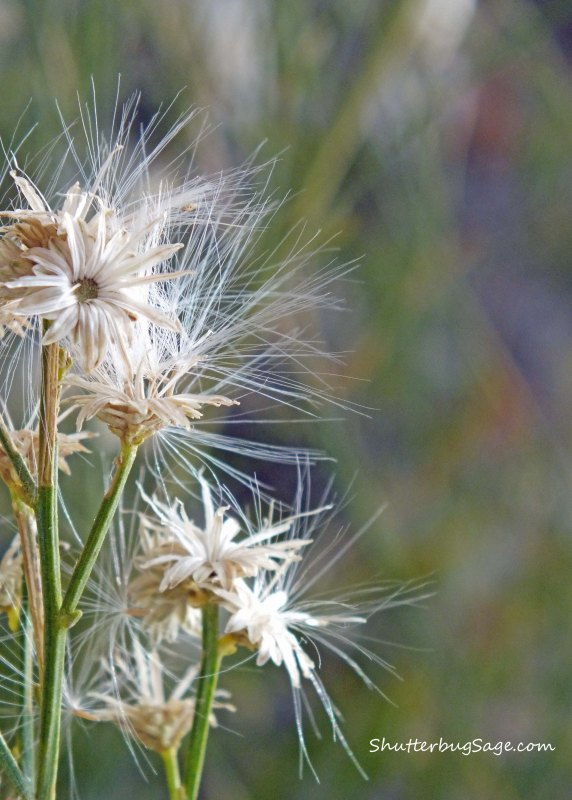 Dry Daisies in the Desert_edited-1
