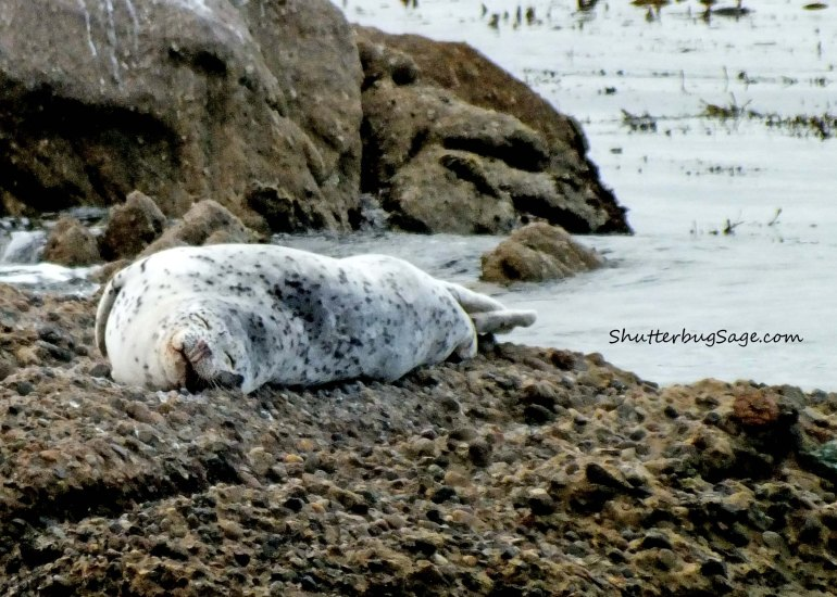 Harbor Seal at Rest_edited-1