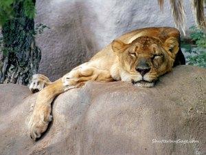 Lioness 1_edited-1