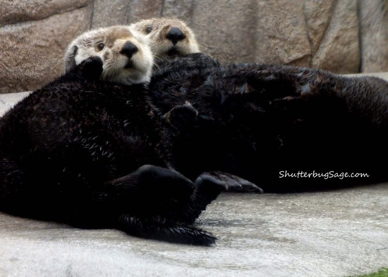 Sea Otters_edited-1