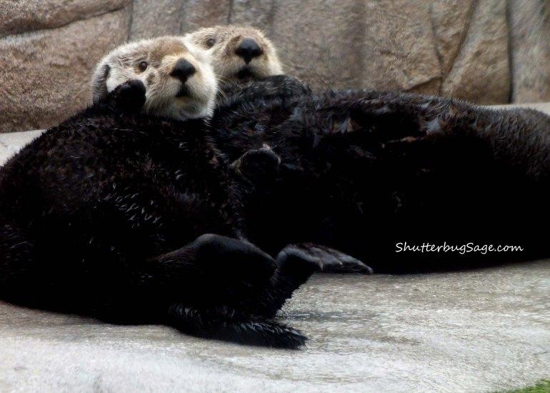 Sea Otters_edited-1
