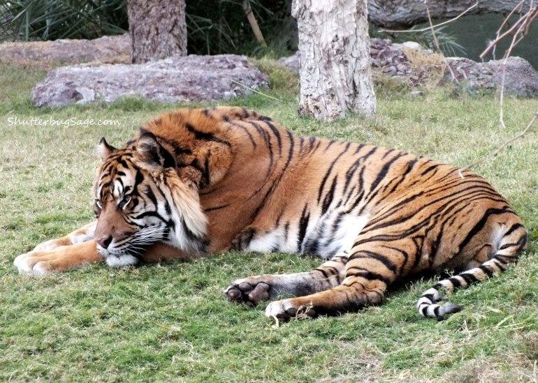 Tiger_edited-1