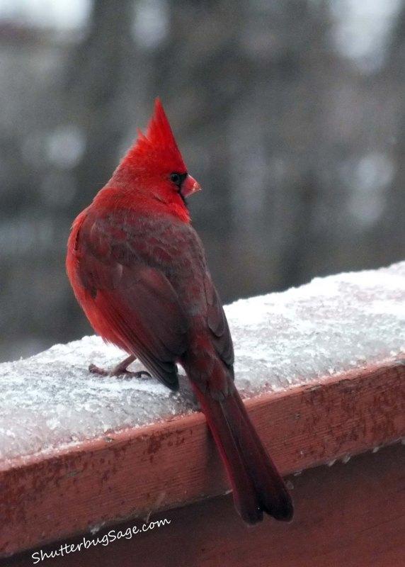 Cardinal 1_edited-1